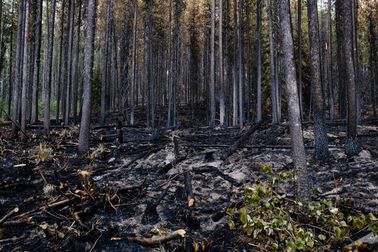 Burned out lodgepole pines stand in Kootenai National Forest in the waning days of active burning from the Gold Hill fire that took place from August to mid-October 2018. After a wildland fire is controlled, firefighters often patrol stands, looking for residual burns.