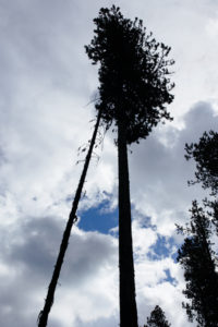 Standing dead trees, also known as snags, pose great risk to wildland fighters. A gust of wind in the wrong direction can bring them down and cause serious injury or death.