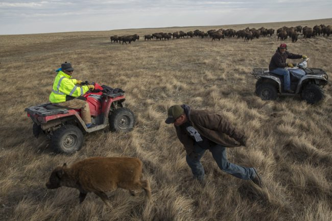 Shawn Wipert, a hand for the Blackfeet Buffalo Program, chases a buffalo calf while moving the herd to winter pasture. The calf lost its mother due to sickness, so the men will bottle feed the calf until it is healthy enough to go back out with the herd.